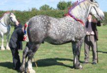 Обзор породы лошадей Першерон