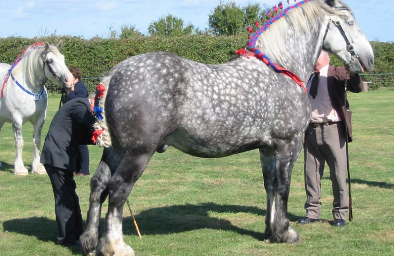 Photo of Обзор породы лошадей Першерон