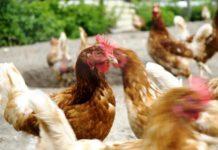 Почему и что делать когда куры едят свои яйца