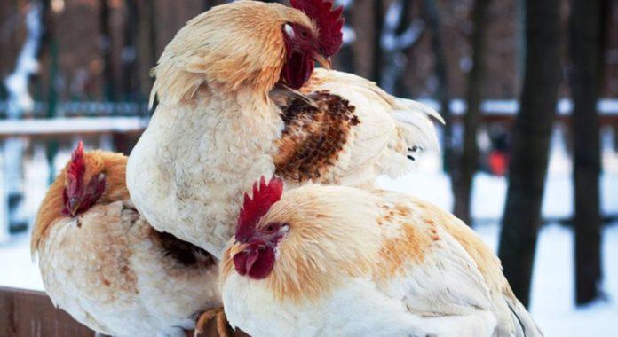 Почему куры не несутся зимой