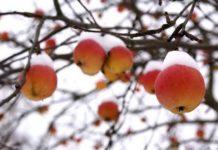 Подготовка яблонь к зиме
