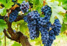 Подготовка почвы и посадка винограда весной