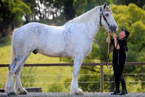 Порода лошадей Шайр