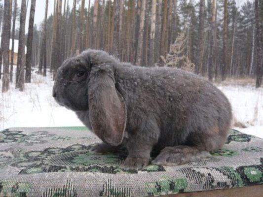 Породы кроликов в Украине