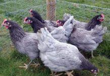 Породы кур несушек