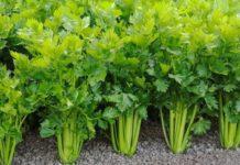 Посадка и выращивание сельдерея