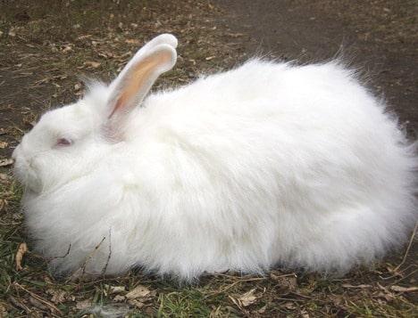 Пуховые породы кролей
