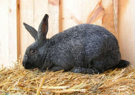 Серебристая порода кроликов