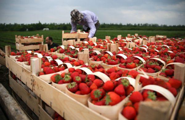 Сезон чудес: Европа может остаться без урожая.Мигранты оказались ключевым фактором агросистемы ЕС