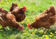 Сколько ест курица в сутки