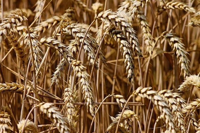 США могут обойти Россию по экспорту пшеницы