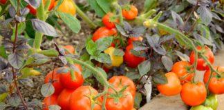 Томат Санька – некапризный сорт для посадки на даче