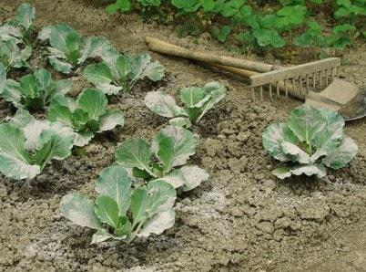 Удобрение зола для подкормки рассады и комнатных растений
