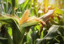 Успеть продать подороже: Украина сняла ограничения на экспорт кукурузы
