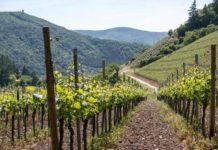 В Дагестане в 2020 году планируют заложить 1,4 тыс. гектаров виноградников