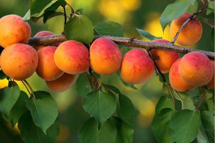В Крыму заморозки погубили почти четыре тысячи гектаров плодовых садов
