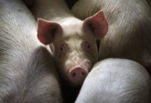 Власти Китая наращивают активные меры борьбы с африканской чумой свиней