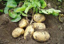 Все на картошку: участники рынка прогнозируют увеличение спроса на картофель