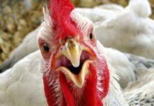 Беларусь ограничивает ввоз птицы из региона Венгрии из-за птичьего гриппа
