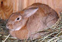 Беременность (сукрольность) крольчих