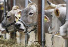 Bloomberg: из-за снижения спроса на молоко фермеры США отправляют дойных коров на мясо