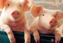 Цены на свинину в Китае резко подешевели