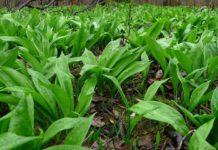 Черемша: посадка семян и уход в открытом грунте