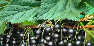 Черная смородина: посадка, выращивание и уход