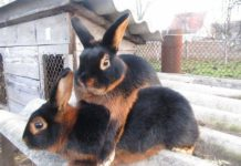 Черно-бурый кролик