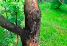 Черный рак яблони: как вылечить недуг