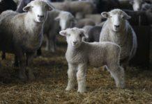 Cодержание овец