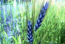 Цветная пшеница — ноу-хау российских селекционеров