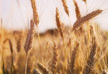 Доедим, не вывезем: к чему приведут квоты на экспорт зерна