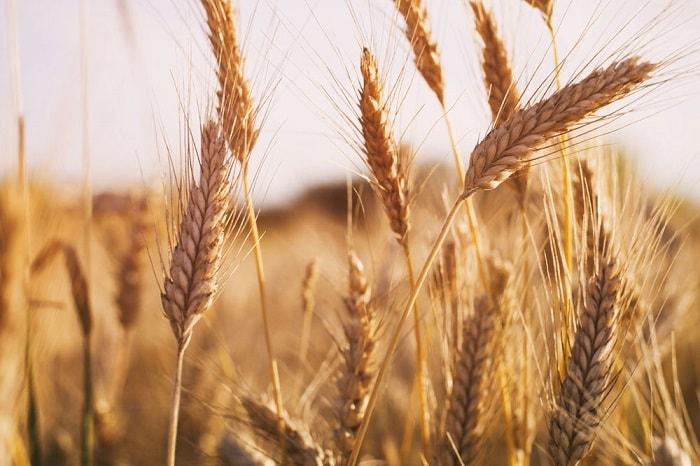 Photo of Доедим, не вывезем: к чему приведут квоты на экспорт зерна
