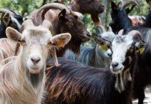 Грубошерстное козоводство