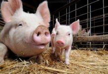 Хозяйственно-полезные признаки свиней