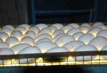 Инкубация гусиных яиц