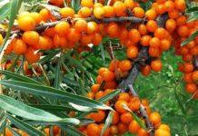 Ягода облепиха: как посадить и размножить кустарник семенами