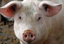 Йоркширские свиньи