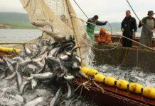 К 8 мая общий вылов российскими рыбаками превысил 1,9 млн тонн – на 6,4% больше уровня 2019 года