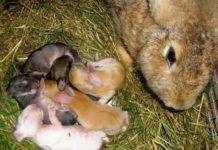 Как определяют период охоты у крольчих