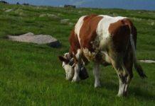 Как открыть бизнес по разведению крупного рогатого скота