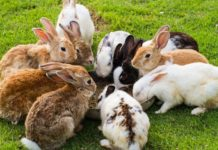 Комплектование стада кроликов