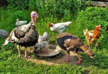 Конституция домашней птицы