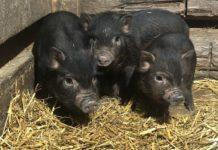 Кормежка вьетнамских свиней