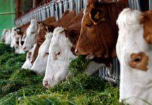 Кормление и содержание дойной коровы