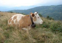 Кормление коров в сухостойный период