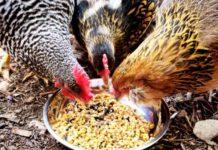 Кормление кур яичных линий и кроссов