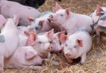 Кожные болезни свиней