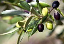 Крымские ученые планируют получить урожай оливок в промышленных масштабах